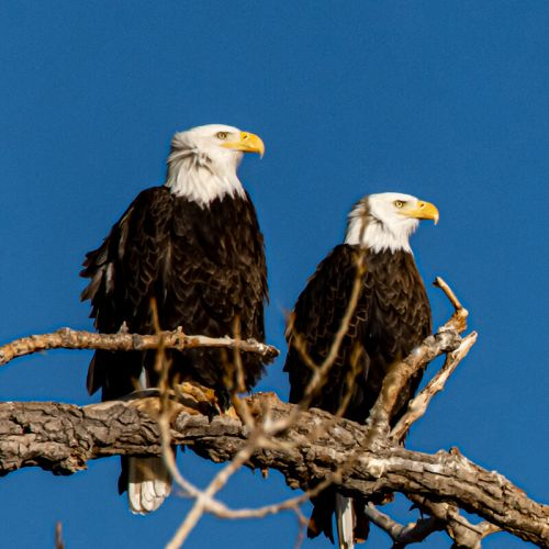two bald eagles sit on a branch against a bright blue skied backdrop
