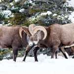Maligne Canyon Icewalk and winter wildlife  deal