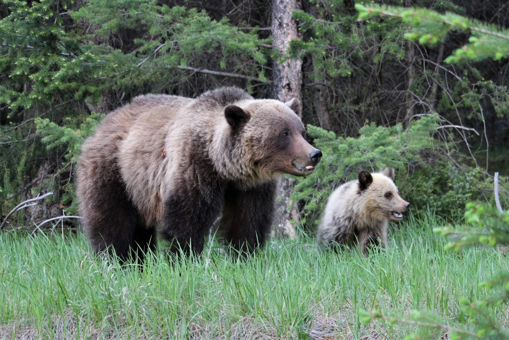 bears on jasper wildlife discovery tour