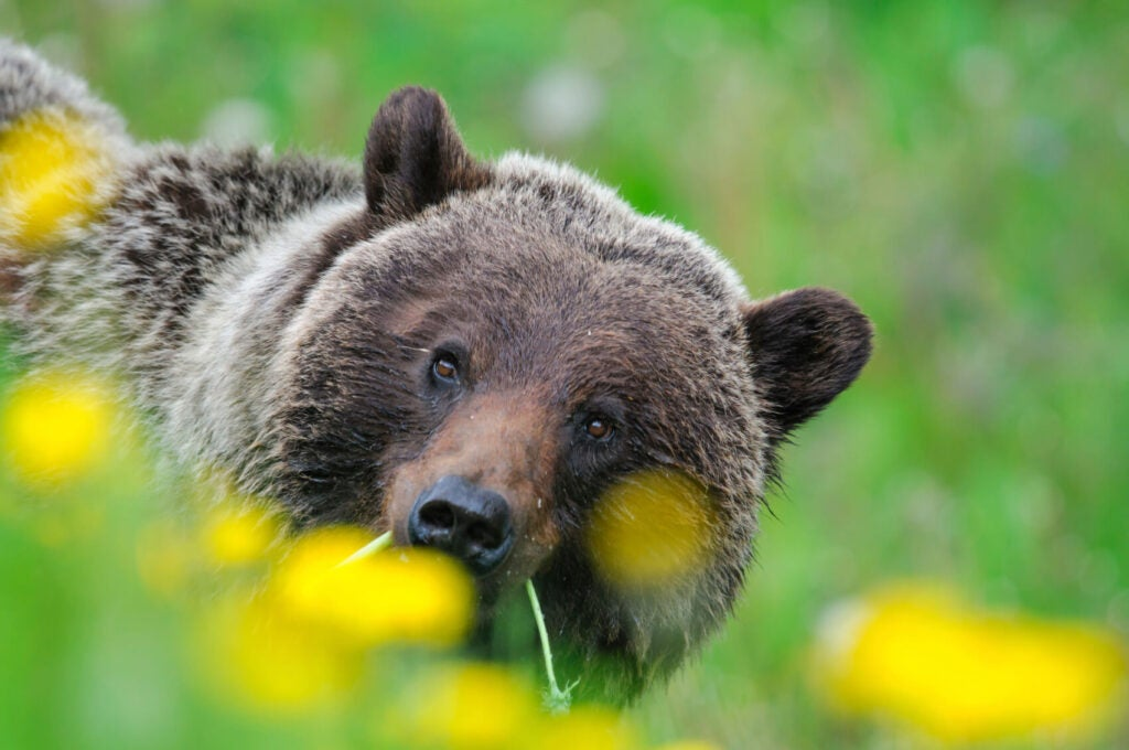 A bear looking at the camera while it is holding in his mouth a flower, there are flowers at the bottom of the image.