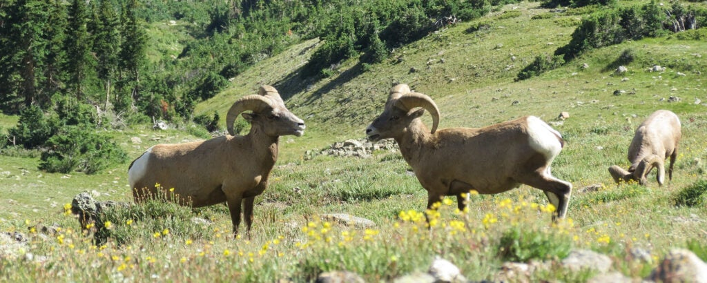 Two bighorn sheep face each other in a green field