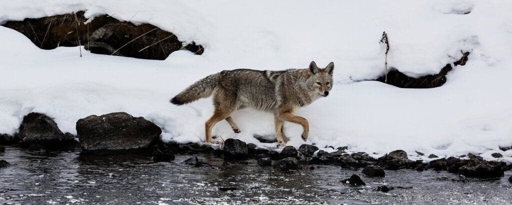 A coyote stalks at the edge of a snowy creek.