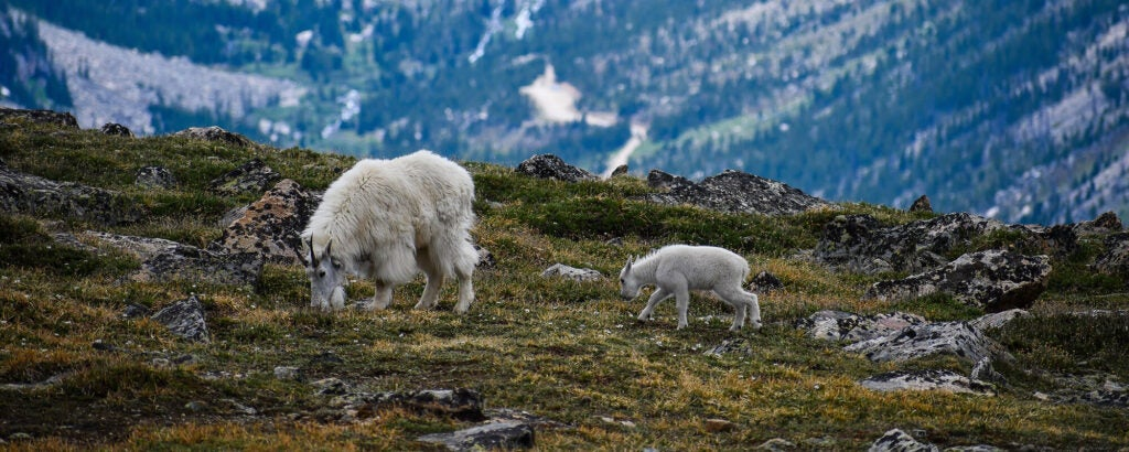 Two white mountain goats grazing with snow-capped mountains in the background