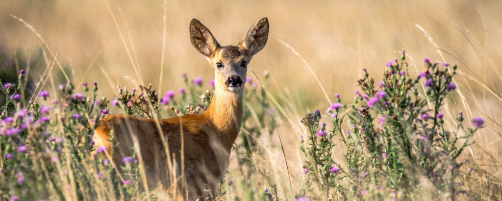 A female deer looks at the camera, with its body partially hidden by brush