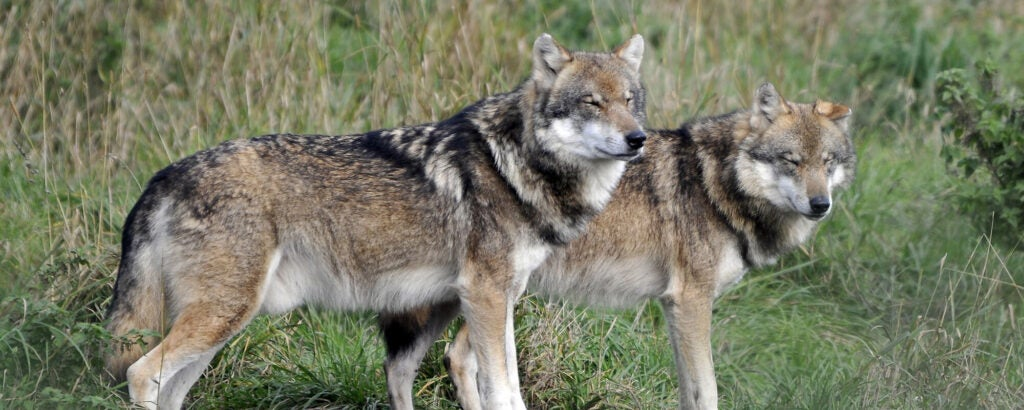 Two wolves in the forested-green background
