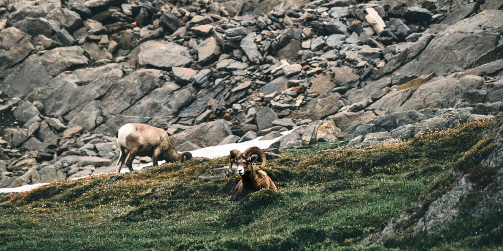 Two bighorn sheep in the grass with craggy rocks in the background.