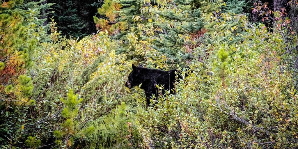Black bear emerges from green brush